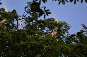 Penghuni Arboretum Ardea cinerea